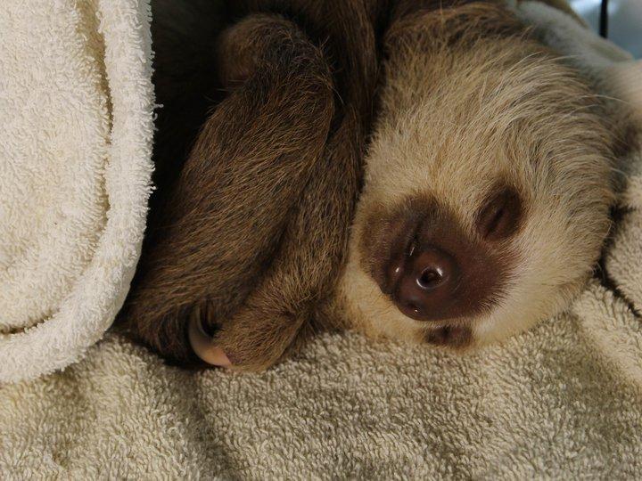 фото ленивец спит известен второй недоделанный